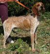 Pointer-Hund-Zypern-Tierheim-25