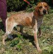 Pointer-Hund-Zypern-Tierheim-26