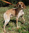 Pointer-Hund-Zypern-Tierheim-36