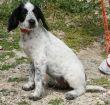 Terrier-Welpe-Zypern-Tierheim-82