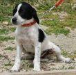 Terrier-Welpe-Zypern-Tierheim-18